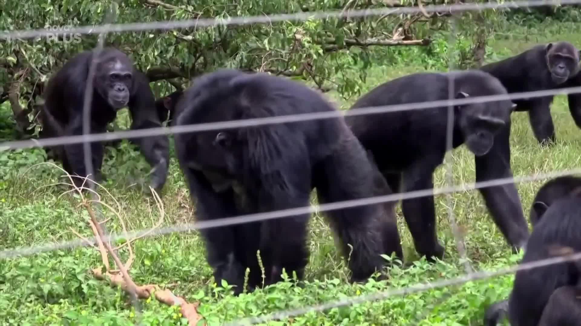 Jak to vypadá na šimpanzím ostrově? Primáti si užívají život v bezpečí rezervace