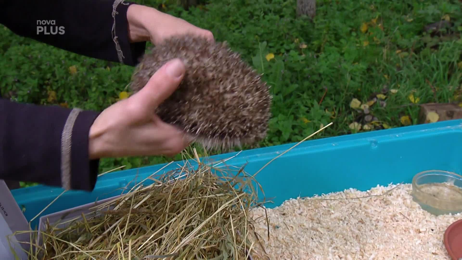 Potkali jste venku ježka? Poznejte, kdy potřebuje vaši pomoc!