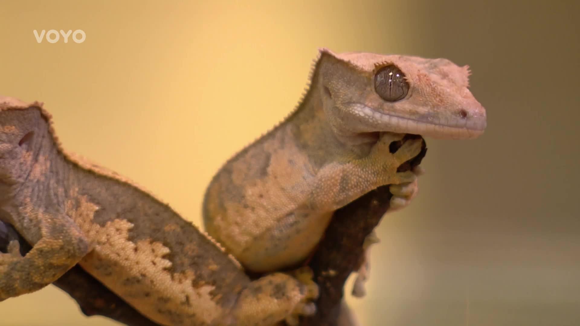 Chcete si domů pořídit gekona? Poradíme vám, jaké vyžaduje prostředí a krmivo